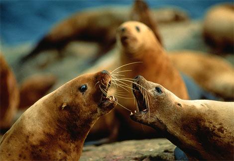 Steller-sea-lions